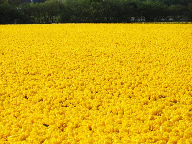 The Tulips Fields, The Netherlands