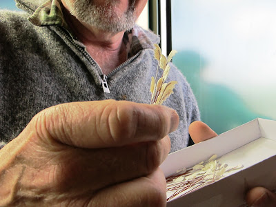 Man holding a bunch of miniature toetoe grass, with a box of it in his other hand.