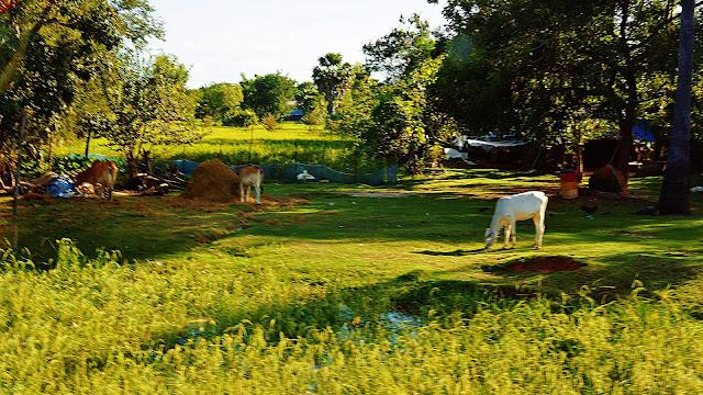 Изображение пасущихся на лугу телят возле деревни