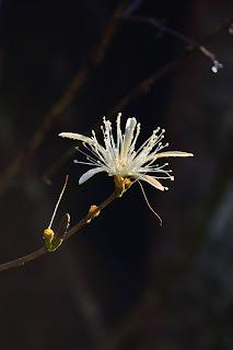 Pochote Flower