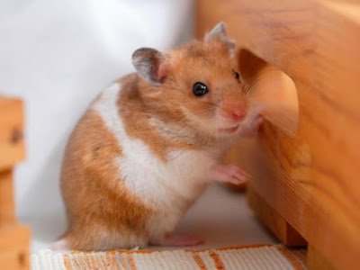 How to Clean Hamster Cage