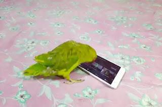 स्मार्टफोन लवर है यह तोता, YouTube पर खुद से सर्च कर देखता है अपना पसंदीदा शो