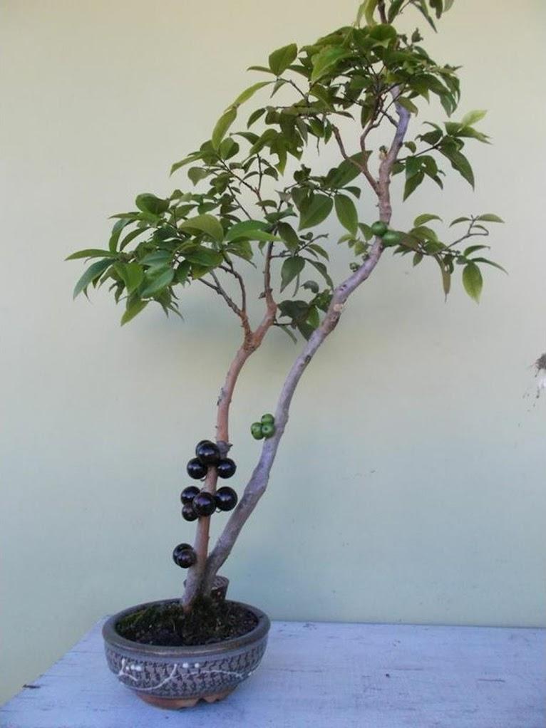 Bibit Tanaman Buah Anggur Pohon Brazil Palu