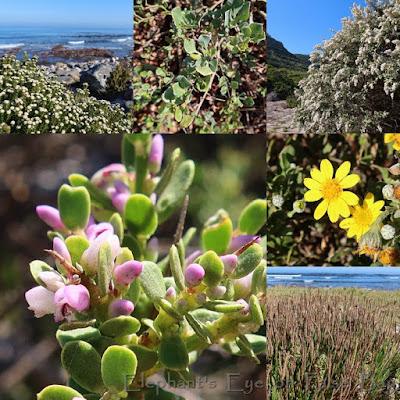 Slangkop flowers in April