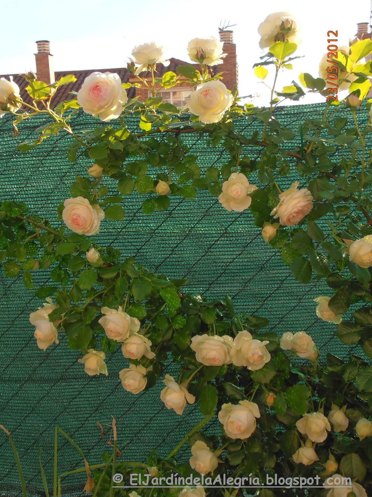 El jard n de la alegr a c mo se podan los rosales - Cuando se poda los rosales ...