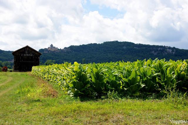 Alcuni campi coltivati a tabacco lungo la Dordogna