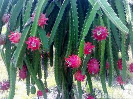 merupakan salah satu jenis tumbuhan memanjat Morfologi Pohon Buah Naga