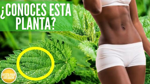 Infusión para Quemar Grasa y Reducir el Azúcar a base de Raíz de Ortiga