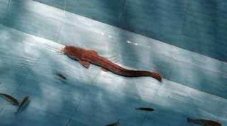 Berikut Cara Menetralkan Air Basa Dan Asam Pada Kolam Ikan Lele Secara Sederhana.