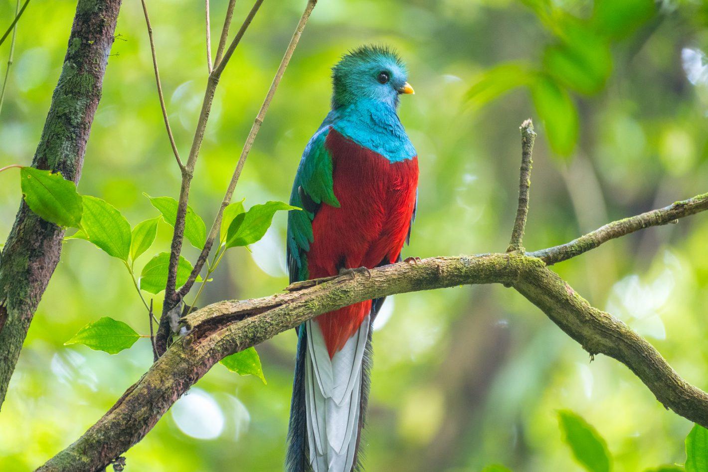 Птица Великолепный Кетцаль в Монтеверде, Коста-Рика