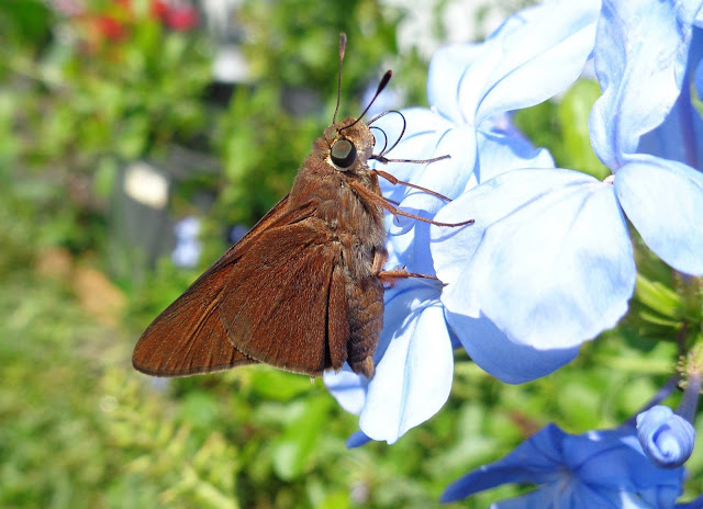 Skipper Butterfly on Blue Plumbago
