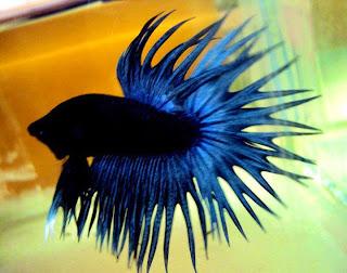 Cara Melatih Mental Ikan Cupang Hias Dengan Baik