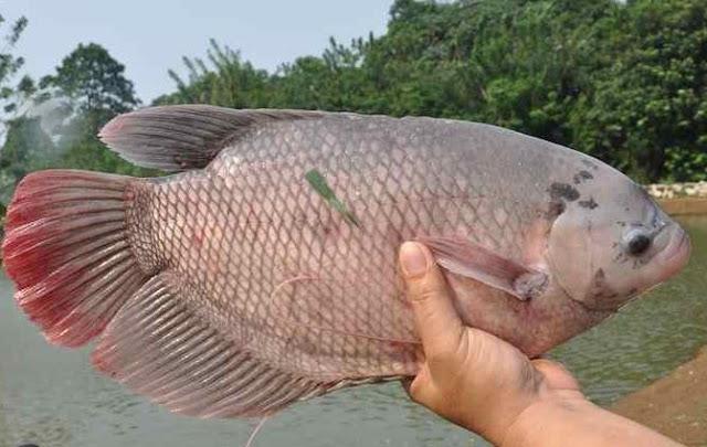 Supplier Jual Ikan Gurame Bibit & Konsumsi Kupang, Nusa Tenggara Timur Terjangkau