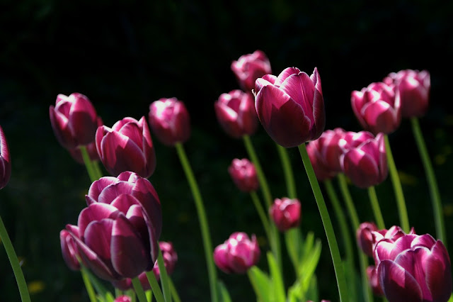 Maroon tulip flower image