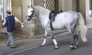young Lipizzan stallion is midway through the graying process
