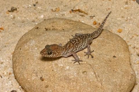 Tips Lengkap Gecko : Cara Memelihara Hingga Merawatnya