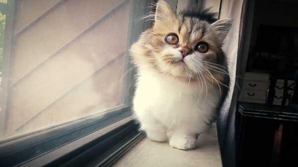 napoleon cat personality