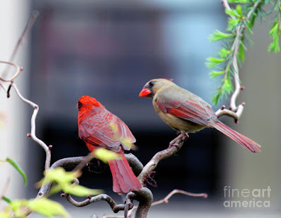 This is a screen shot of a photograph rendered on art paper and available via Fine Art America. It features a couple of cardinals perched on a branch. The female (brownish) is on the right while the male (red) is on the left. Info re this print is @ https://fineartamerica.com/featured/cardinal-love-3-patricia-youngquist.html?product=art-print