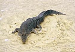 Crocodilia