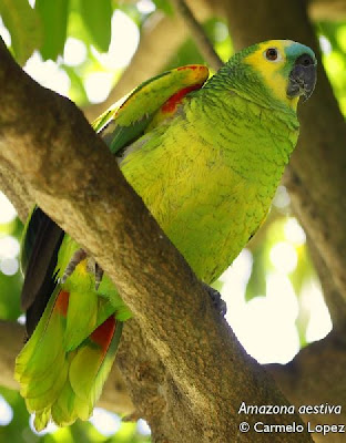 Loro hablador Amazona aestiva