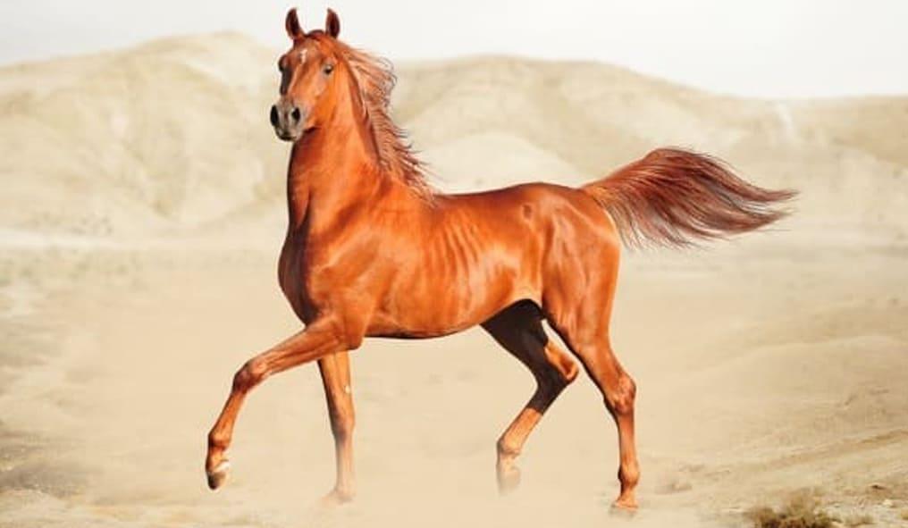 arap atı cinsi