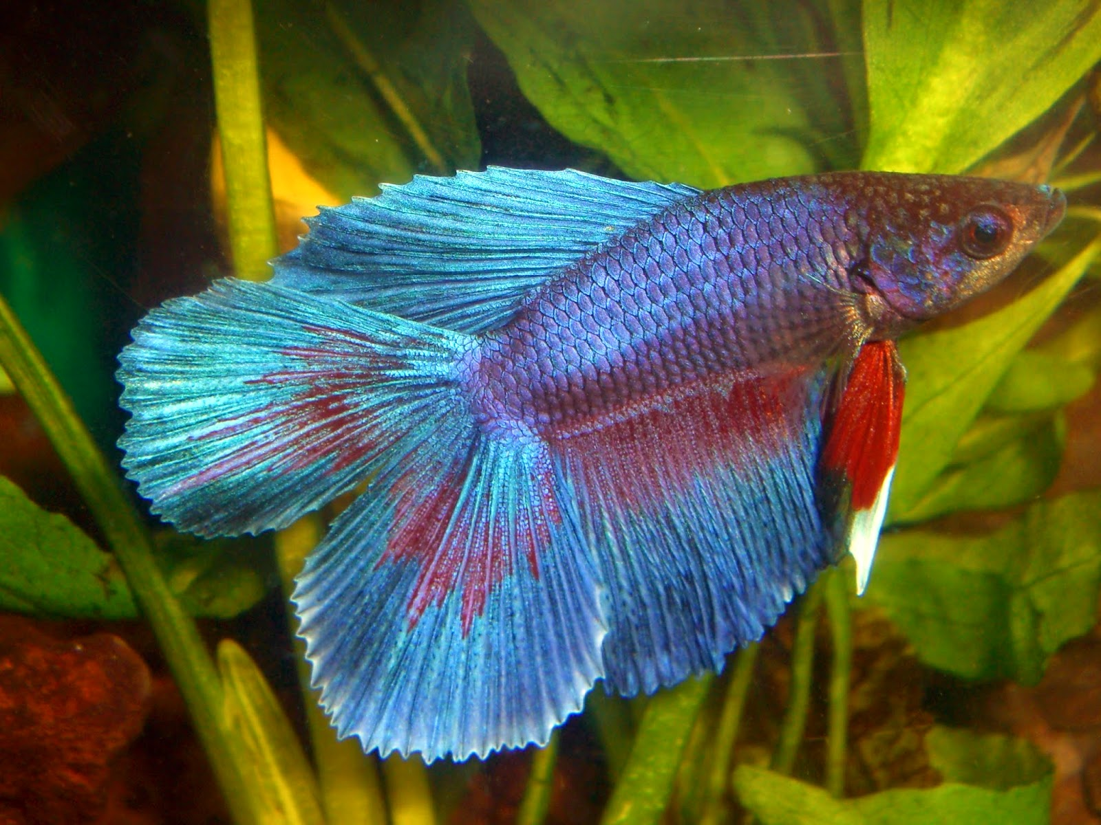 Freshwater Frenzy: Betta Fin and Tail Varieties