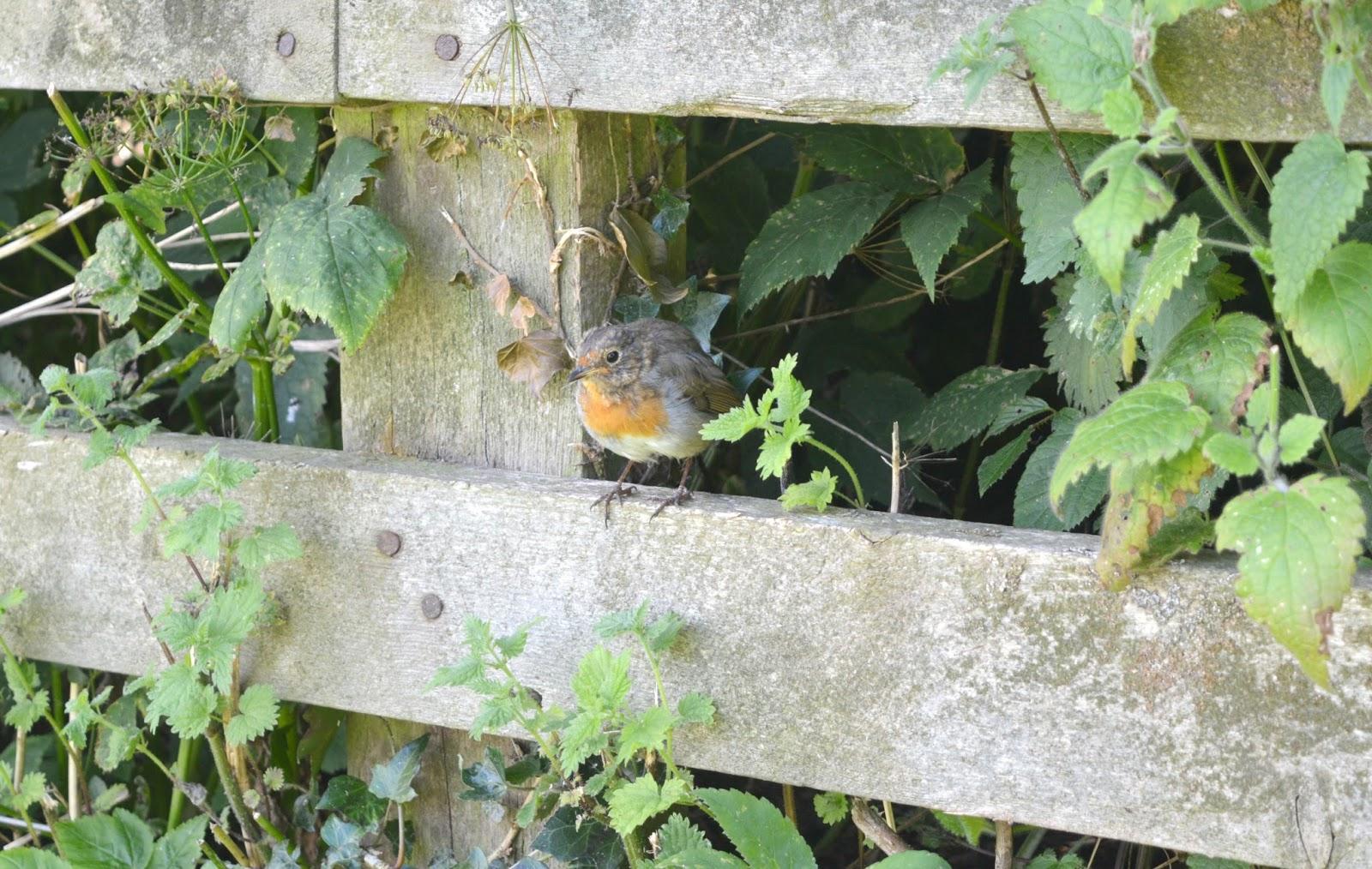 National Trust Cherryburn - Robin