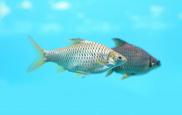 4 Cara Budidaya Ikan Tawes dengan Modal Seadanya