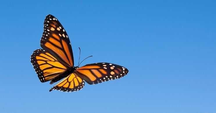 Kelebekler desenlerini daha çok kamufle olmak ve saklanmak için kullanırlar.