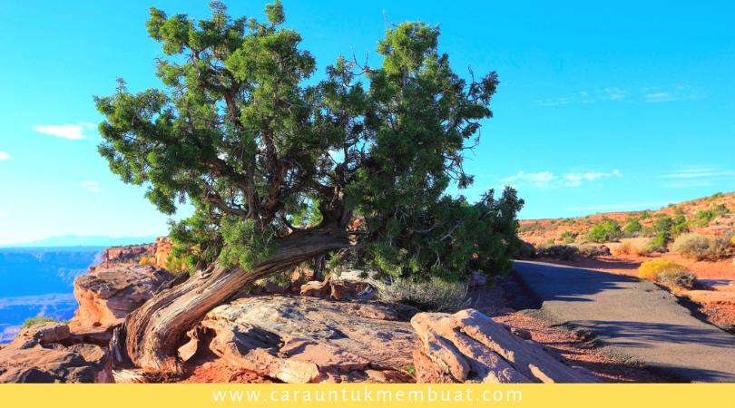 Juniper Tree on Canyonlands 4