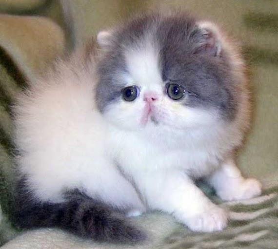 Daftar Jenis-Jenis  Kucing Persia Yang Banyak di Gemari