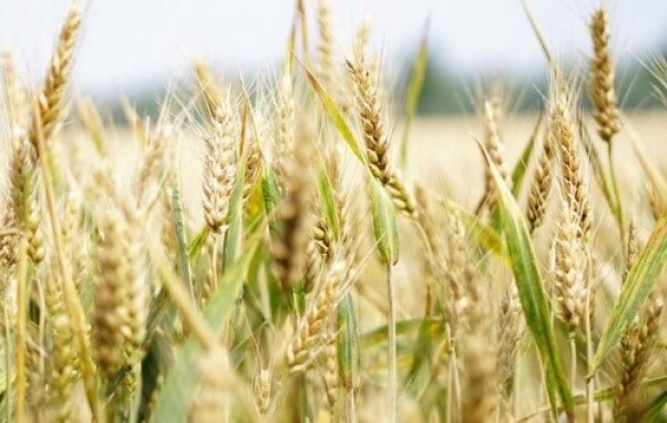Wheat benefits for Healthy