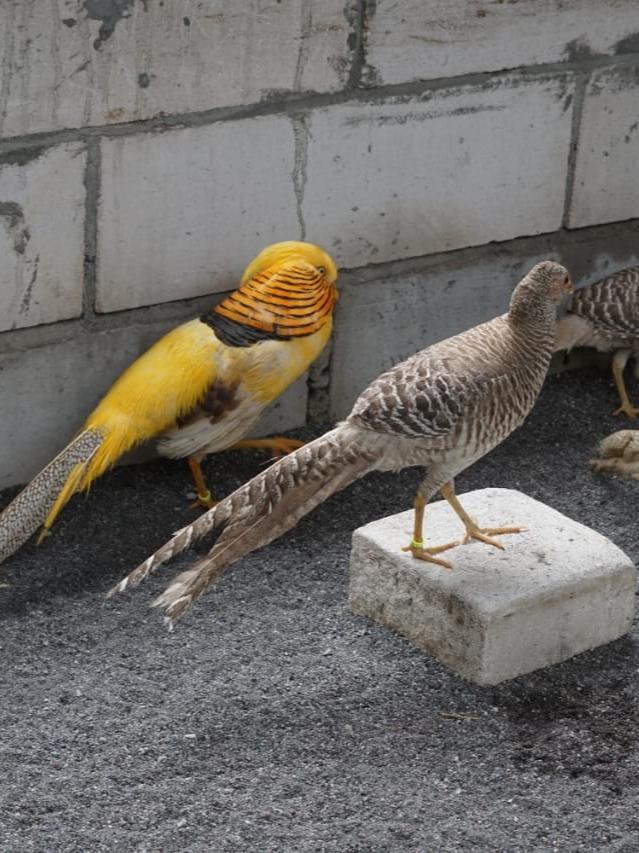 jual ayam hias yellow pheasant