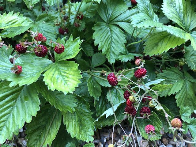 Tiny red woodland strawberries