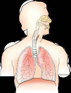 Pengertian Sistem Pernapasan Pada Anatomi Fisiologi Tubuh Manusia