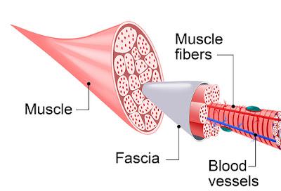 muscle fascia diagram