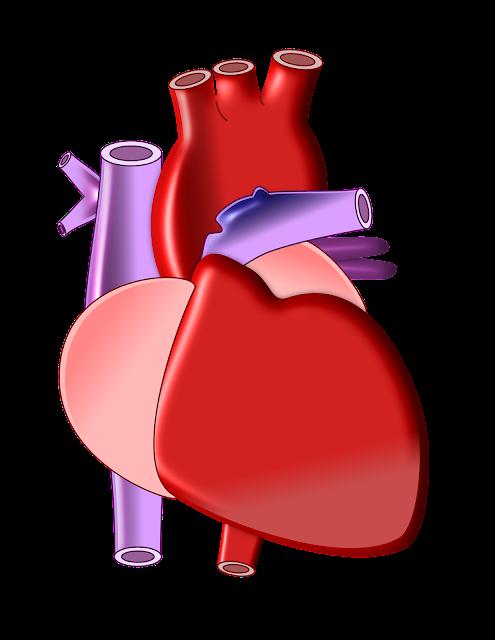 Human Heart, biology, how human heart works? www.educationphile.com