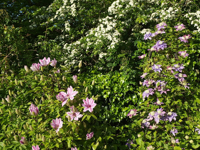 Clematis 'Dorothy Walton' and 'Diamantina' with May on the public land providing a lovely backdrop