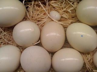 Top Quality Parrots and Fertile Parrot Eggs Available for sale