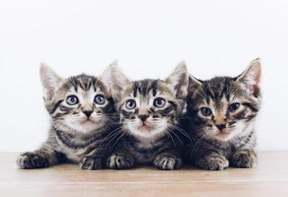Bagaimana cara kucing berkembang biak