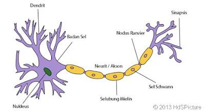 Fungsi neuron