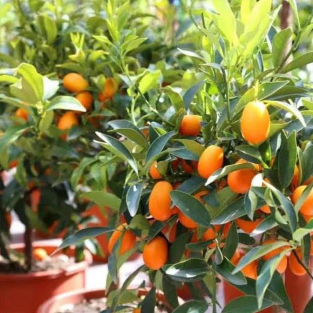 Melayani Eceran! bibit jeruk nagami okulasi Unggul Kota Bekasi #bibit