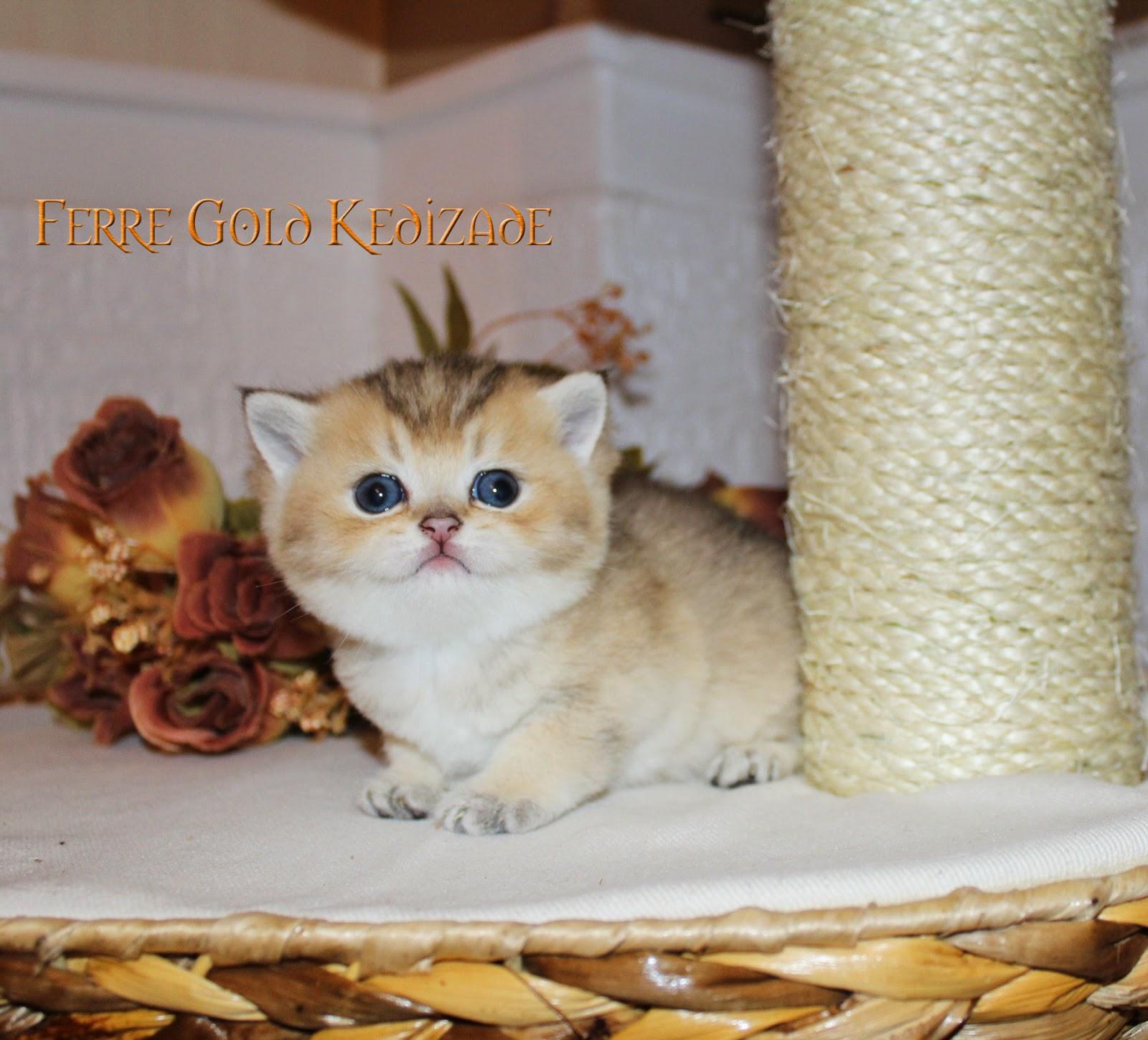 İngiliz kedilerin eğitimi
