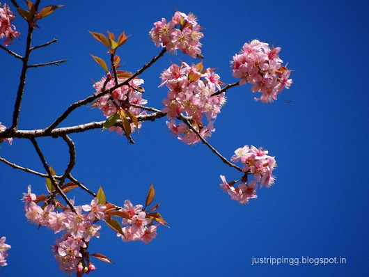 The Ephemeral Cheery Cherry Blossoms