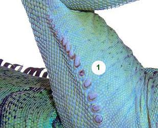 Lỗ chân lông có chứa chất sáp của rồng nam mỹ