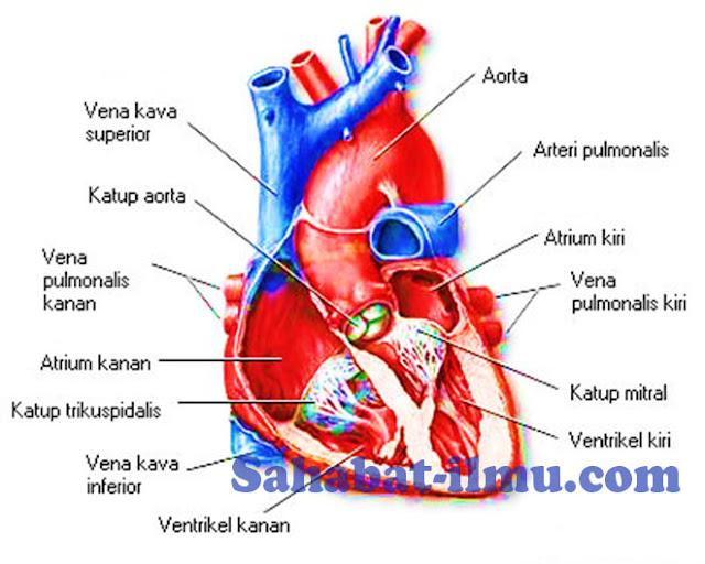 fungsi bagian-bagian jantung adaah