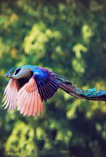 صور طاووس , أجمل صور الطاووس