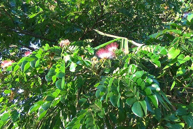 Dlium Rain tree or monkey pod tree (Albizia saman)