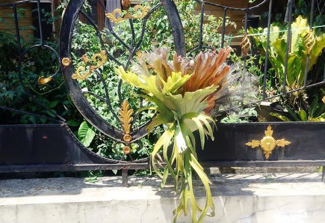 jenis tanaman hias tanduk rusa