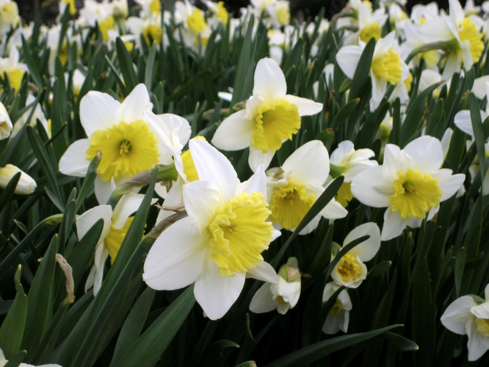 cwaux: Gorgeous Field of Shy Daffodils HD Wallpaper